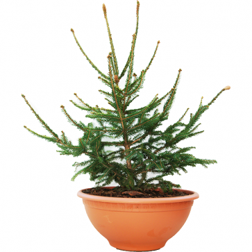 Picea abies - Rotfichte - Acrocona KBN Yellow