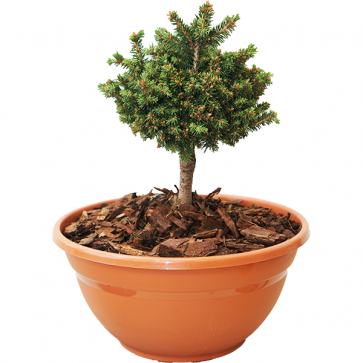 Picea abies - Rotfichte - Typner