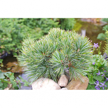 Pinus koraiensis - Koreakiefer - China Boy