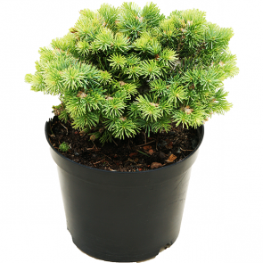 Abies concolor - Coloradotanne - Blue Baby (Minima)