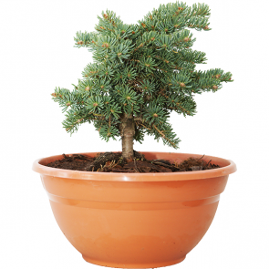 Abies concolor - Coloradotanne - Olson Broom