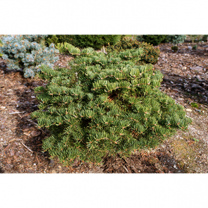 Abies concolor - Coloradotanne - Scooter