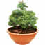 Abies concolor - Coloradotanne - Od Maleho