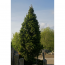 Picea abies - Rotfichte - Cuppressina
